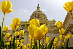 Tulipanes frente al Capitolio de Washington