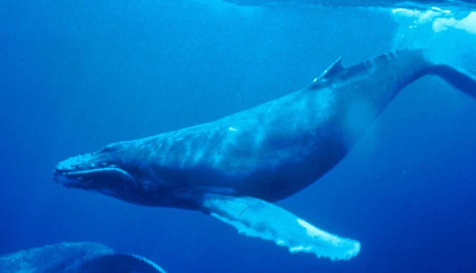 fotos de ballena azul
