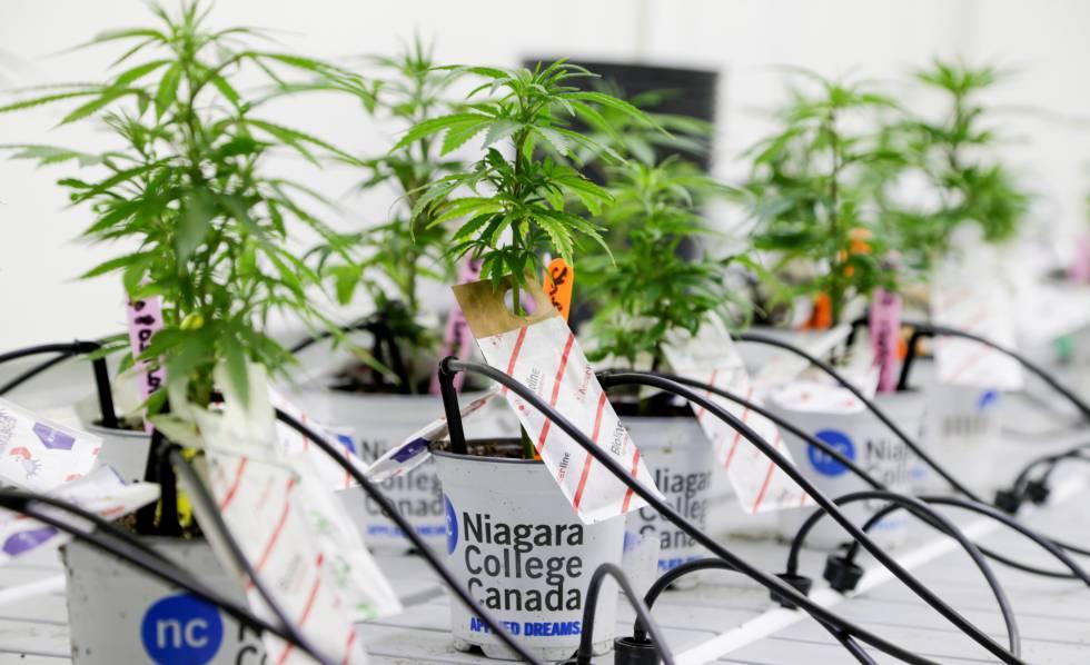 Las grandes firmas del cannabis plantan su primera semilla en España