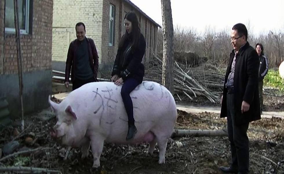 Un visitante a lomos de un cerdo de 750 kilos en la provincia china de Henan.